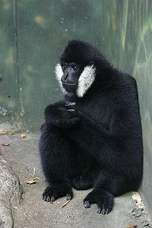 動物園裡的白頰長臂猿 (Nomascus leucogenys leucogenys)
