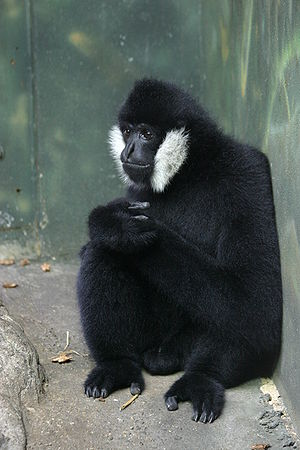 Northern white-cheeked gibbon - Nomascus leucogenys male