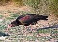 Northern Bald Ibis Geronticus eremita (8470600428).jpg