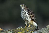 Northern Goshawk juv - Catalonia - Spain S4E8593.jpg