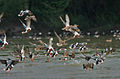 Northern Shovelers (Anas clypeata) taking off at Sultanpur I Picture 1070.jpg