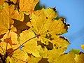 Norway Maple (31016262595).jpg