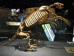 Nothrotheriops skeleton at Springs Preserve.jpg