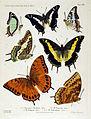 NovaraExpZoologischeTheilLepidopteraAtlasTaf59.jpg