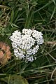 November flowers - Yarrow - geograph.org.uk - 611541.jpg