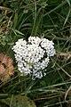 November flowers - Yarrow - geograph.org.uk - 611541.jpg