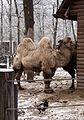 Nyíregyháza Zoo - Camels-3.jpg