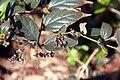 Nyctanthes arbor-tristis 7zz.jpg