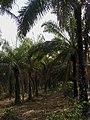 OAU Palm farm.jpg