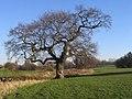 Oak, Lake View Park - geograph.org.uk - 693068.jpg