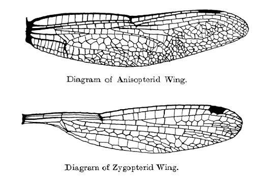 OdonataWings