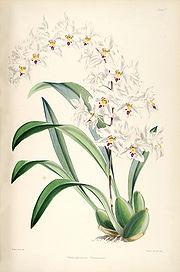 Odontoglossum nobile (as Odontoglossum pescatorei) - pl. 5 - Bateman - A Monograph of