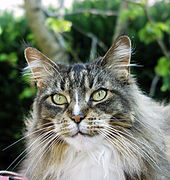 Old Maine Coon.JPG