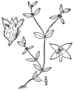 Oldenlandia uniflora BB-1913.png