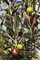Olives (UOVO PICCIONE) Cl J Weber (9) (22852474810).jpg