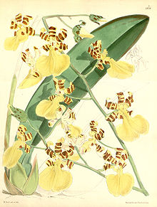 Oncidium (Trichocentrum ) splendidum (as Oncidium tigrinum)-Curtis 97-5878 (1871).jpg