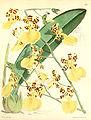 Oncidium (Trichocentrum ) splendidum (as Oncidium tigrinum)-Curtis 97-5878 (1871).jpg