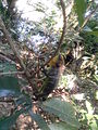 Ontu 1 at tree.jpg
