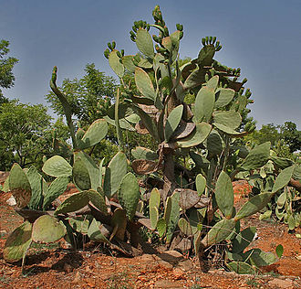 Opuntia ficus-indica - Opuntia ficus-indica (Indian fig) in  Secunderabad, India.