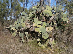 Opuntia robusta growth form.jpg