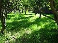 Orange Orchads, Archangelos, Rhodes, Greece - panoramio.jpg