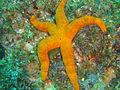 Orange starfish at Island Rock DSC04759.JPG