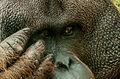 Orangutan face in São Paulo Zoo.jpg