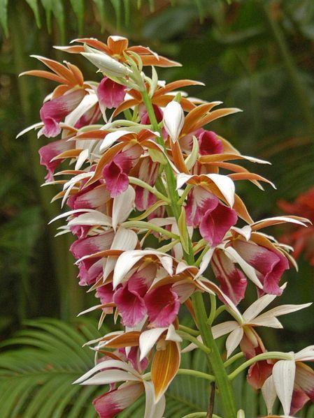 File:Orchidaceae - Phaius tancarvilleae.JPG