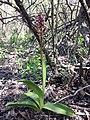 Orchis purpurea sl53.jpg