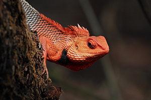 Chandoli National Park - Image: Oriental Garden Lizard or Bloodsucker
