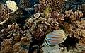 Ornate Butterfly Fish.jpg