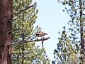 Osprey with trout.jpg