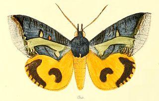 <i>Eudocima homaena</i> Species of moth