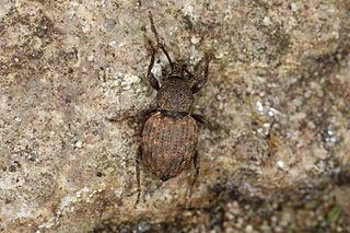 <i>Otiorhynchus raucus</i> Species of beetle