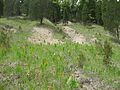 Outer Bluegrass dolomite barren (Lewis co).JPG
