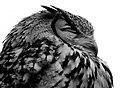 Owl (8089753529).jpg