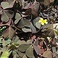Oxalis corniculata, 2020-09-09, Beechview, 01.jpg