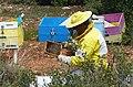 P1650369 Μελισσοκόμος.jpg