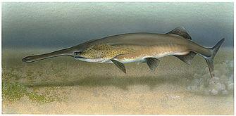 Paddlefish Polyodon spathula