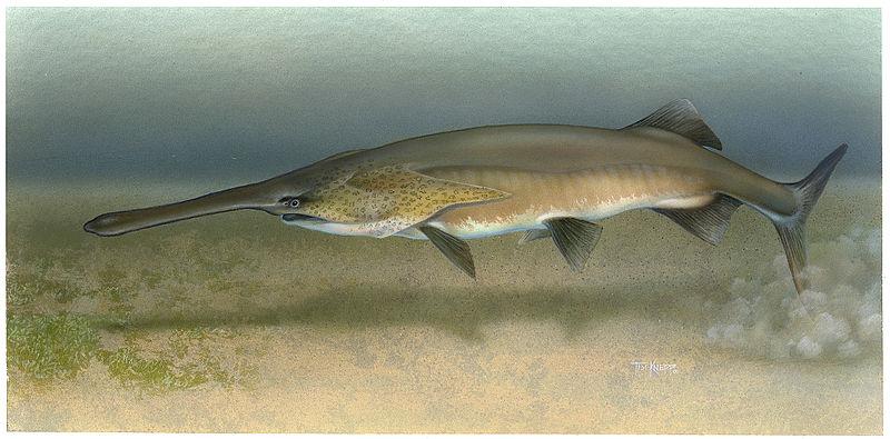 File:Paddlefish Polyodon spathula.jpg
