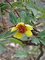 Paeonia delavayi aff. trolloides (17725789799).jpg