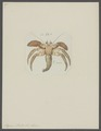 Pagurus striatus - - Print - Iconographia Zoologica - Special Collections University of Amsterdam - UBAINV0274 096 11 0015.tif