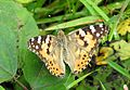 Painted Lady Vanessa cardui UP by Dr. Raju Kasambe DSCN3827 (14).jpg