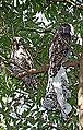Pair of Powerful Owls (Ninox strenua) with Boardshorts.jpg