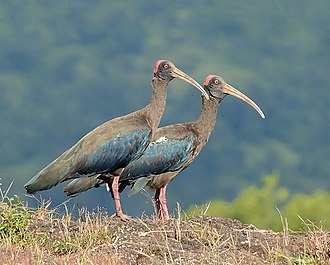 Red-naped ibis - A pair