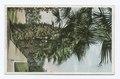 Palms and Geraniums, California (NYPL b12647398-73924).tiff