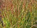 Panicum virgatum Shenandoah - Flickr - peganum (2).jpg