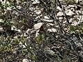 Papallona de l'arboç (Charaxes jasius) al Puig Francàs P1250462.jpg