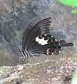 Papilio helenus Linnaeus, 1758 – Red Helen at Kottiyoor Wildlife Sanctuary (7).jpg
