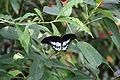 Papilio polymnestor-01 (xndr).jpg